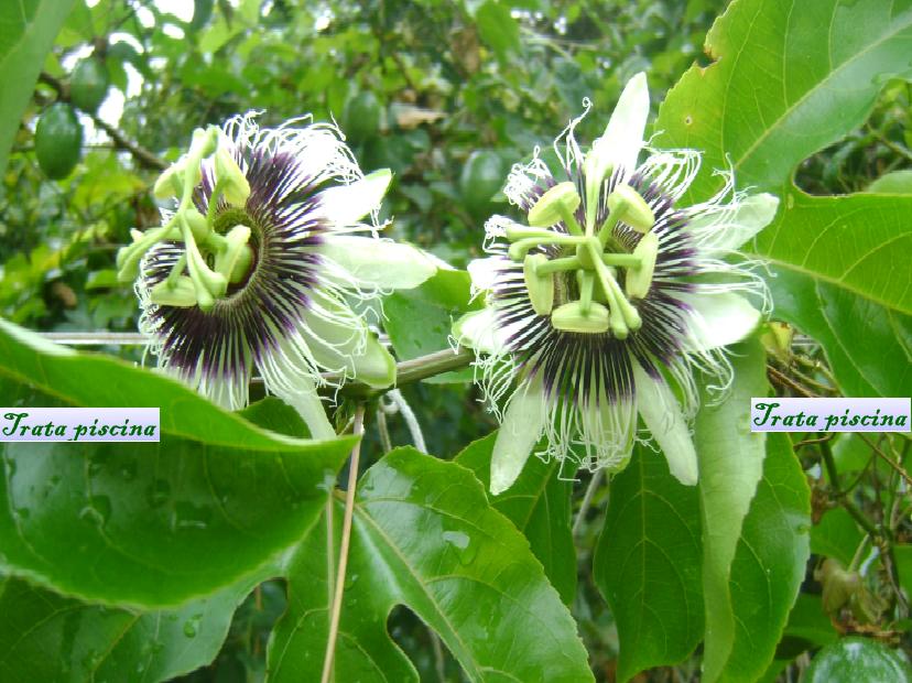 flordemaracuja